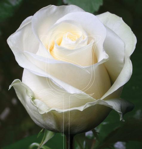 роза анастасия фото